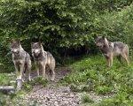 Une meute de loup