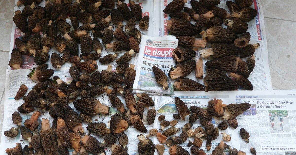 Hautes-Alpes : Raphaël a récolté 6,380 kg de morilles !
